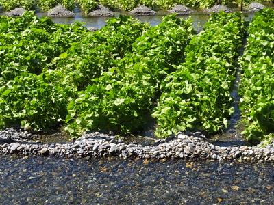 6・真清水がわさび田の畝に湧き出る