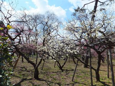 七分咲きの梅苑