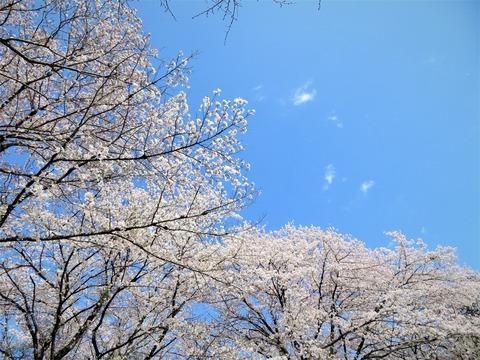 片倉城址公園の桜