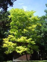 ニセアカシアの黄緑