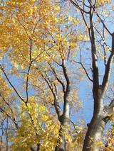公園の黄葉1