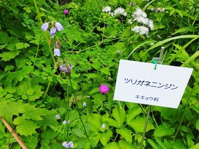 8・ツリガネニンジン(キキョウ科)
