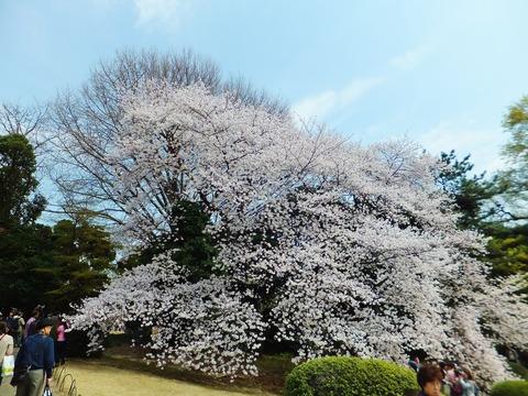 一本の桜の樹です