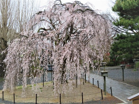 �千本釈迦堂 阿亀桜