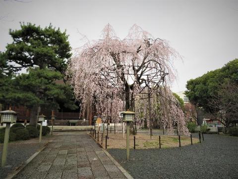 �本堂に阿亀桜