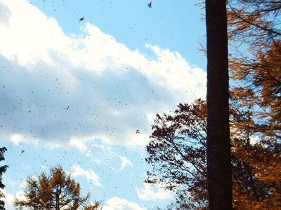 カラマツの落葉