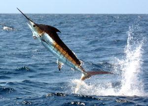 Atlantic blue marlin アトランティック ブルー マーリン