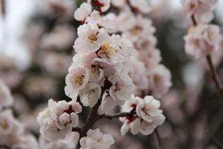 ウメ-薄色縮緬-(神代植物公園)