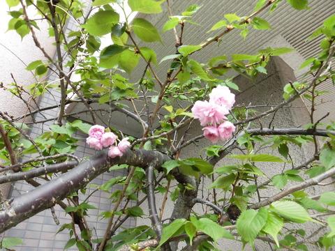 20170408桜