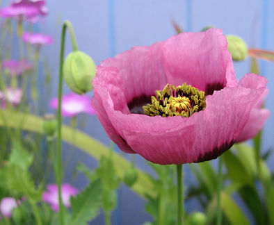 papaver_setigerum_side
