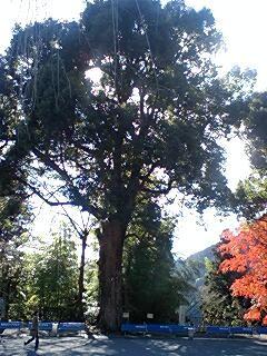 身延山久遠寺の楠木1