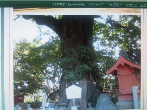 新居浜一宮神社の楠木1