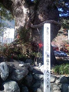 本遠寺の楠木2