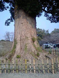 熊本城飯田丸前の楠木4