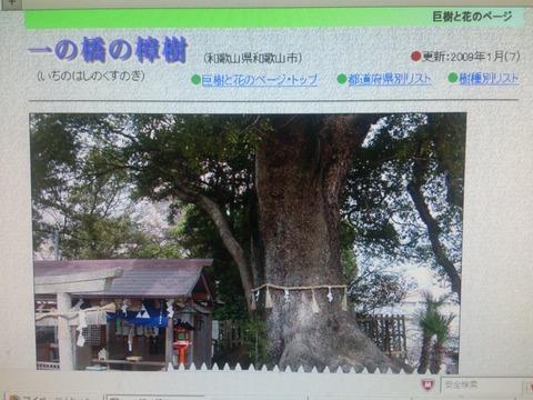 和歌山城の楠木1
