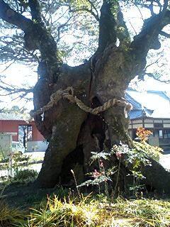 本遠寺の楠木5(木の下の方が割れている)