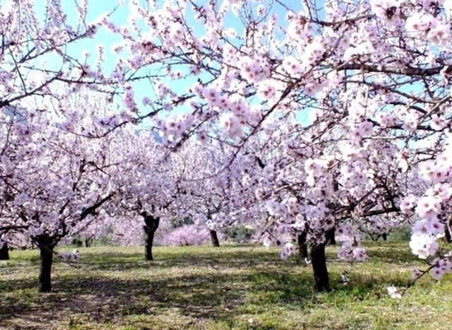 Almond-tree2