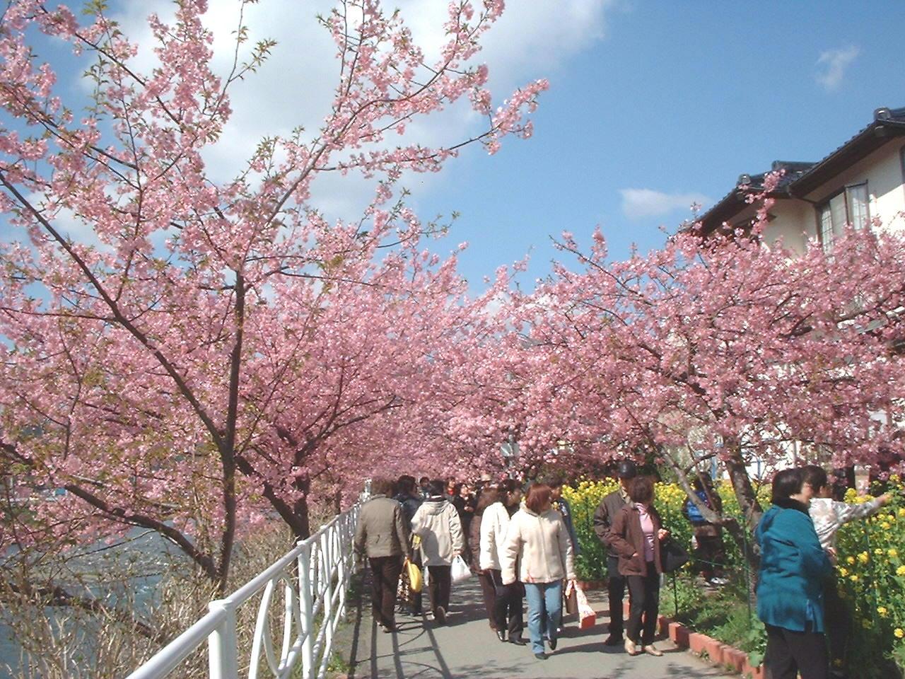 河津桜まつり02