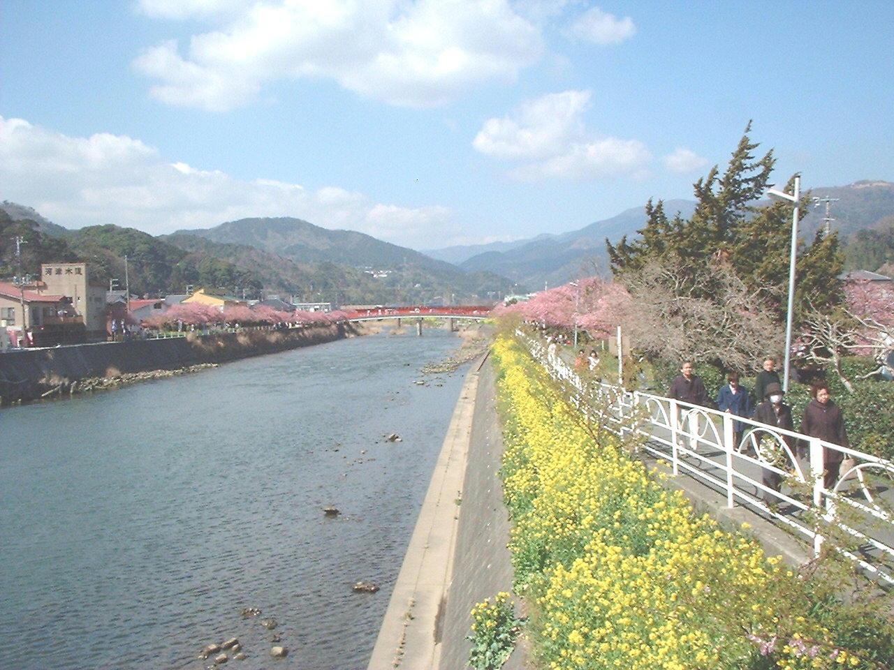 河津桜まつり04