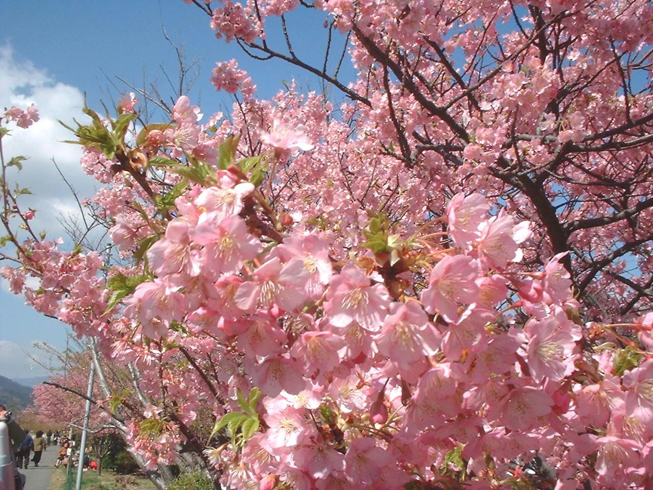 河津桜まつり05