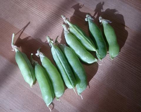 ベランダで収穫したスナップエンドウ