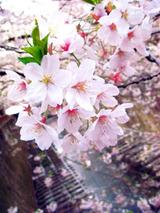 sakura2011_04