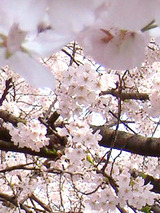 megurogawa_sakura_02