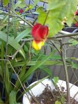 赤いちょうちん花