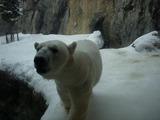 白クマ 1