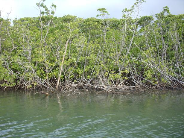 マングローブの林