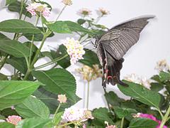 ランタナと蝶ブログ1