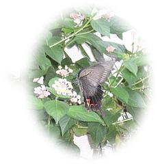 ランタナと蝶ブログ2