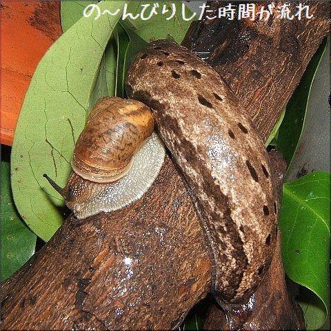 ヤマナメクジの生活(1)