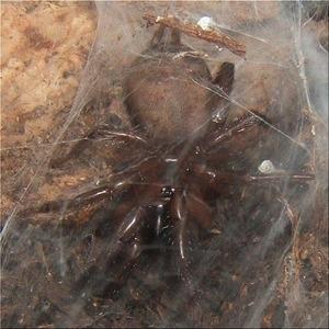地蜘蛛(2)