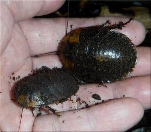 ジャイアントウッドローチ幼虫(2)