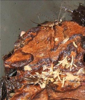 オオハサミムシのチビたち(1)