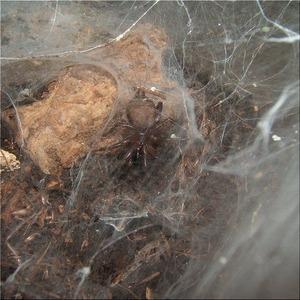 地蜘蛛(1)