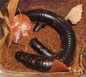 タンザニアオオヤスデの糞(1)