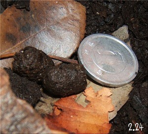 タンザニアオオヤスデの糞(2)