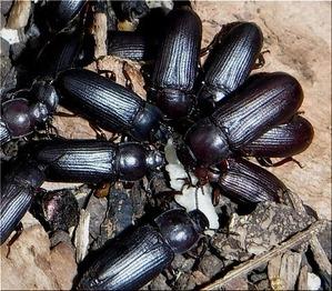 チャイロコメノゴミムシダマシ(2)