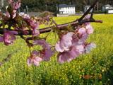 2007年2月10日菜の花畑