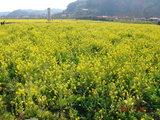 2007年2月10日菜の花