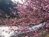 2007年2月10日桜2