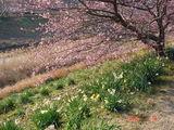2007年2月10日桜3