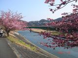 2007年2月10日桜