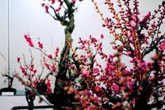 梅まつり_0060