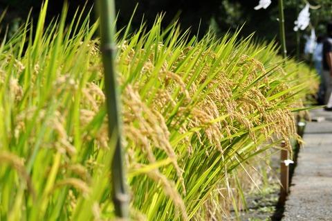 献穀米抜穂式2021-10