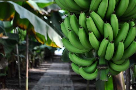 ひかりバナナ-68