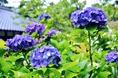 ばさら窯_紫陽花-15