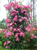四季の香り公園 バラ園 7
